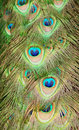 Closeup of peacock feathers Royalty Free Stock Photo