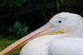 Closeup of a pelican s head portrait Stock Images