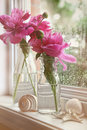 Closeup of peony flowers in milk bottles Royalty Free Stock Photo