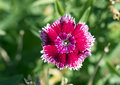 Closeup of a petal, dianthus chinensis Royalty Free Stock Photo