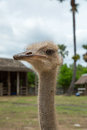 Closeup photo of cute emu bird with palm tree and blue sky background Stock Image
