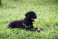 Closeup photo of cute poodle ate fish in vietnam black hair Stock Images