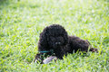 Closeup photo of cute poodle ate fish in vietnam black hair Stock Photography