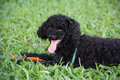 Closeup photo of cute poodle ate fish in vietnam black hair the park Stock Images