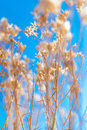 Closeup photo dry weed winter blue sky background Royalty Free Stock Photos