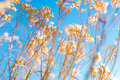 Closeup photo dry weed winter blue sky background Royalty Free Stock Photography