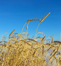 Closeup photo of golden wheat against Royalty Free Stock Photography
