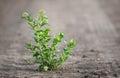 Closeup photo of green weed Royalty Free Stock Photo