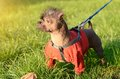 Closeup photo of a hairless dog in park Stock Photo