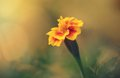 Closeup photo of a marigold flower Royalty Free Stock Photo