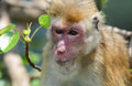 Closeup photo of old monkey with red face world and orange brown hair on buddha tree Stock Images