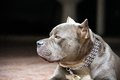 Closeup photo of pitbull dog a gray laying in front the house with chain on Stock Photo