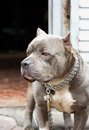 Closeup photo of pitbull dog a gray standing in front the house with chain on Stock Images