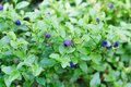 Closeup photo of ripe blueberry on the bush. Royalty Free Stock Photo