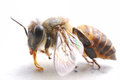 Closeup photo taken honey bee Royalty Free Stock Image