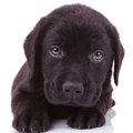 Closeup picture black labrador retriever puppy dog looking camera Royalty Free Stock Images