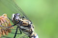 The closeup picture of common skimmer photograph which compound eyes dragonfly can identify Stock Photography