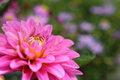 Closeup picture of dahlia Royalty Free Stock Photo