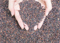 Closeup pile of black rice called riceberry rice , rice with high nutrients textured background on woman hands Royalty Free Stock Photo