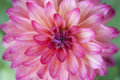 Closeup of pink dahlia flower Royalty Free Stock Photo