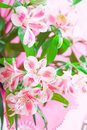 Closeup of pink lily flowers with soft focus Royalty Free Stock Photo