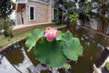 Closeup of pink lotus flower in the pool in a garden Royalty Free Stock Photo