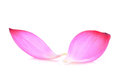 Closeup of pink lotus petal isolated on white
