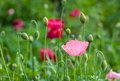 Closeup of pink poppy flower. Royalty Free Stock Photo