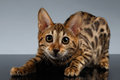 Closeup Playful Bengal Kitty on dark gradient Royalty Free Stock Photo