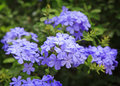 Closeup of a plumbago Royalty Free Stock Image