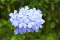 Closeup of a plumbago in the morning light Royalty Free Stock Photography