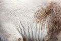 Closeup of polar bear fur Royalty Free Stock Images