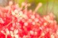 Closeup pollens of saraca on vivid background blur pink Stock Photo