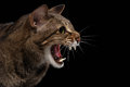 Closeup portrait Aggressive Oriental Cat Hisses in Profile, Black Isolated Royalty Free Stock Photo