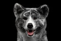 Closeup portrait of Akita inu Dog on Isolated Black Background Royalty Free Stock Photo