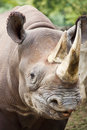 Closeup portrait of baby black rhinoceros at local zoo this an endangered species came close to the fence for this a Royalty Free Stock Image