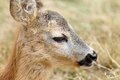 Closeup portrait of a baby roe deer calf capreolus Royalty Free Stock Photography
