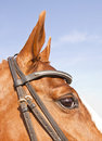 Closeup portrait of brown horse head Royalty Free Stock Photography