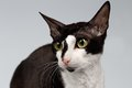 Closeup Portrait of Cornish Rex Cat  Sits on White Royalty Free Stock Photo