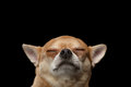 Closeup Portrait of Dreaming Chihuahua dog with Closed eyes,  isolated Royalty Free Stock Photo