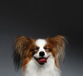Closeup Portrait of Dreaming White Papillon Dog on black Royalty Free Stock Photo