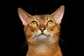 Closeup portrait of funny abyssinian cat looking up on black background Royalty Free Stock Photography