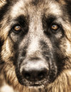 Closeup portrait of german shepherd Royalty Free Stock Image