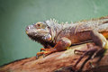 Closeup portrait of green american common iguana on a tree in zoo arboreal species lizard reptilia Royalty Free Stock Image
