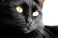Closeup portrait of a Halloween black cat on a white background