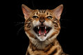 Closeup Portrait of Hissing Bengal Cat on Black Isolated Background Royalty Free Stock Photo