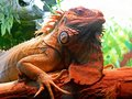 Closeup Portrait Of A Iguana.  Riga zoological garden Royalty Free Stock Photo