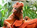 Closeup Portrait Of A Iguana.  Riga zoological garden Royalty Free Stock Image