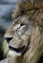 Closeup portrait of lion in chiang mai zoo Stock Image