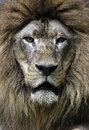 Closeup portrait of lion in chiang mai zoo Stock Images